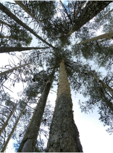 花旗松和樟子松有哪些区别?